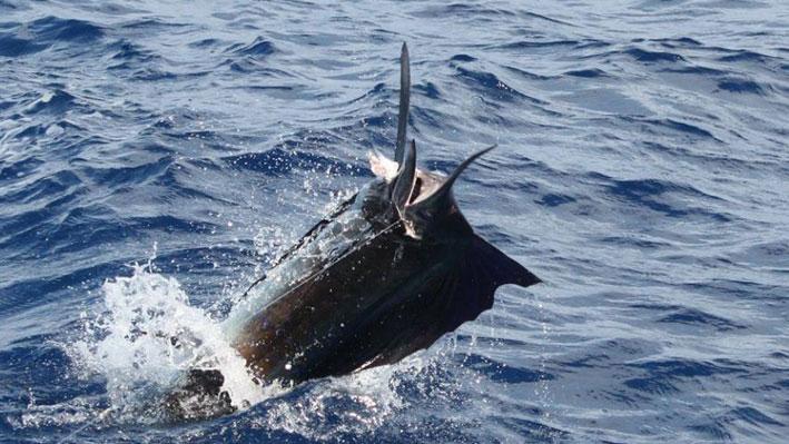 best-time-for-marlin-fish-in-puerto-vallarta