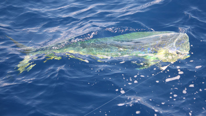 sportfishing-dorado-sailfish
